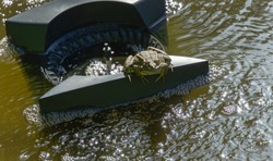 Big frog Rana ridibunda sits on floating skimmer in garden pond and looks at camera. Skimmer collects leaves, dirt and other foreign objects from surface of pond.