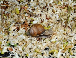 Big garden snail in shell crawling on wet road hurry home. Snail Helix consist of edible tasty food coiled shell to protect body. Natural animal snail in shell from slime can made nourishing cream.