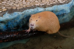 big Giant rodent swamp rat