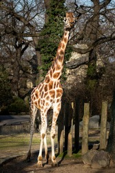 Big Giraffe with long neck
