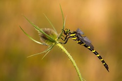 Big golden ringed dragonfly, cordulegaster boltonii, sitting on green plant with spikes in summer at sunset. Insect from side view in nature. Wildlife scenery.