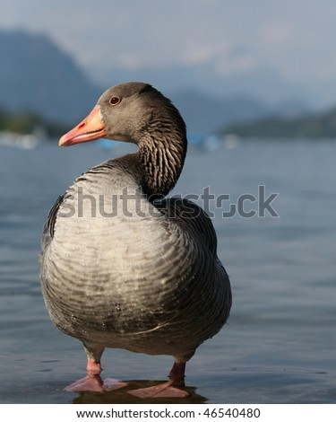 Big goose by a lake in Switzerland - stock photo
