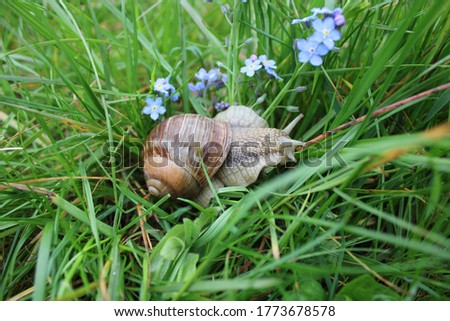 Big grape snail is crawling on the grass. Summer. Nature