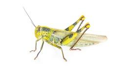big grasshopper on white background
