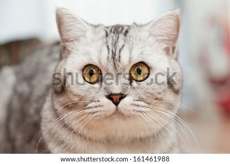 Big gray cat - a portrait close up #161461988
