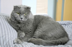 Big gray cat British breed lying and resting on a bed. Looking into camera.