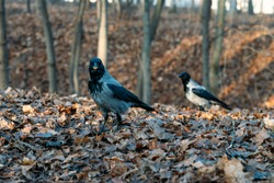 Big gray crows at the autumn foliage in the park eating nuts. Close up grey crow,  sunny fall day in the park