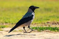 Big gray hooded crow walks near a green grass