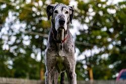 Big Great Dane dog standing tall