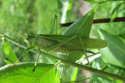 big green grasshopper in the spring grass