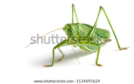 Big green grasshopper on white background close up