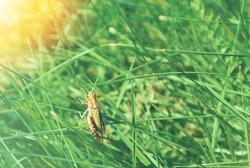 Big green grasshopper sitting on a blade of grass in beautiful sunlight