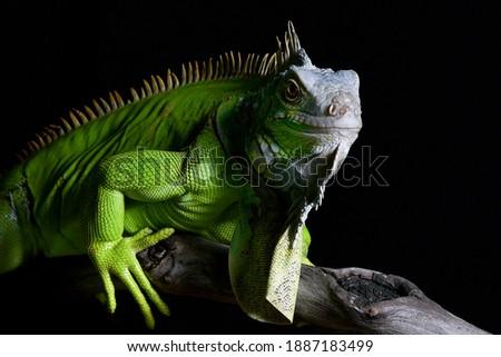 Big green iguana on isolated black background Zdjęcia stock ©