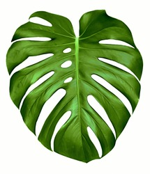 Big green leaf of Monstera plant, isolated on white.