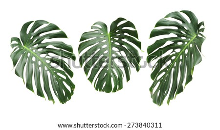 Big green leaf of Monstera plant on white background #273840311