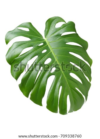 Big green leaf of Monstera plant on white background #709338760