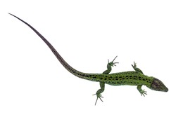 Big green lizard isolated on white background
