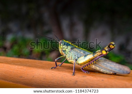 Big green locust on a wooden railing. Grasshopper macro photo side view. Copy space. #1184374723