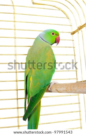 big green parrot in the cage