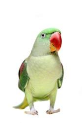 Big green ringed or Alexandrine parakeet female on white background