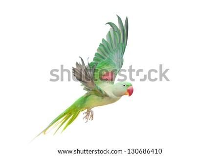 Big green ringed or Alexandrine parakeet (Psittacula eupatria) female  isolated over white background