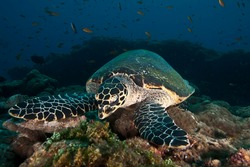 Big green sea turtle swimming among colorful coral reef in dark clear water. Marine life underwater in blue ocean. Observation of animal world. Scuba diving adventure in Caribbean, coast of Cuba