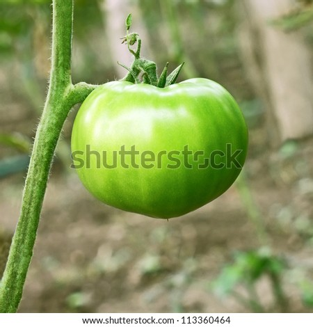 Big green unripe tomato hanging on stem in the greenhouse close-up - stock photo