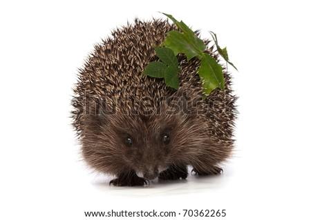 big grey prickly hedgehog looks at me