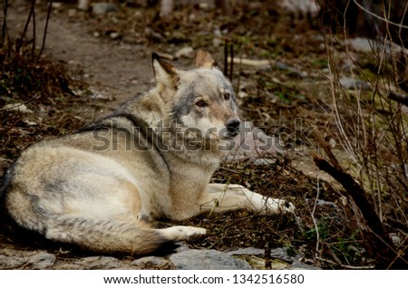 Big grey wild wolf resting on the ground. Wild animal at the zoo. #1342516580