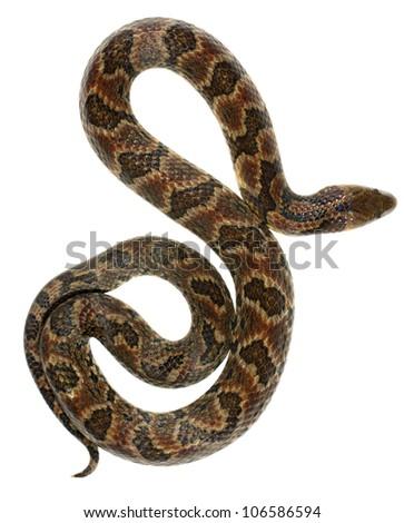 Big Ground Snake (Atractus major) from Ecuador