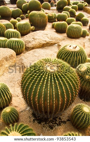 Big Group Of Cactuses