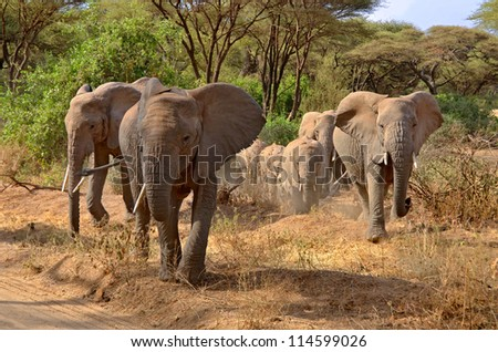 Big group of elephants walking and crossing the road in Lake Manyara National Park