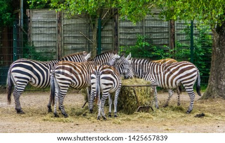 big group of grant's zebras eating hay from the crib, zoo animal feeding, tropical mammals from Africa #1425657839
