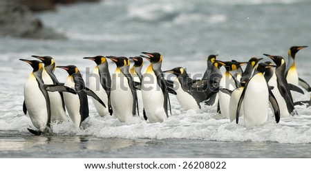 Big group of king penguins coming out of the water