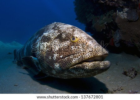 Stock Photo Big grouper resting at the sea floor / Malabar Grouper resting at the sea floor under the surface of the Red Sea, Egypt.