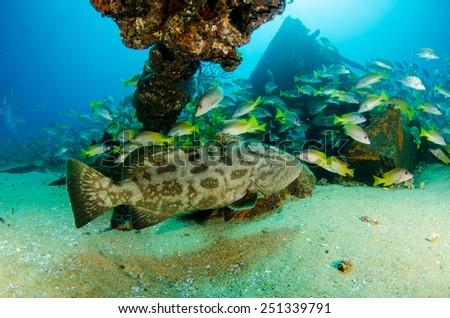 Big Gulf grouper (Mycteroperca jordani), resting in the reefs of the