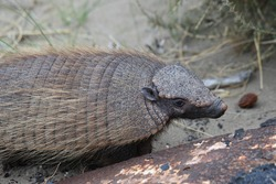 big hairy armadillo or large hairy armadillo, Chaetophractus villosus, encountered in the Valdes Peninsula, Patagonia, Argentina