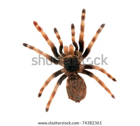 Big hairy spider isolated on white. Top view