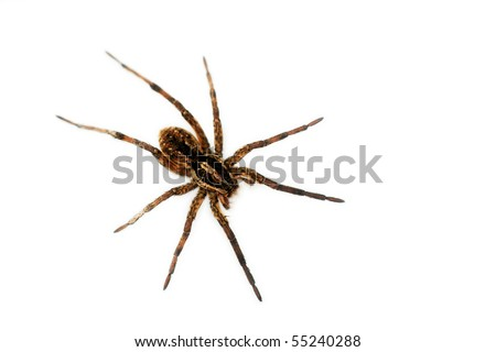 Big hairy spider - over white