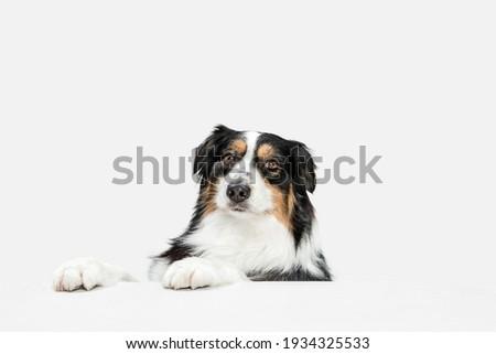 Big happy Australian Shepherd dog standing isolated on white background. Photo stock ©