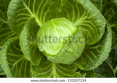 Big head of ripe and green cabbage