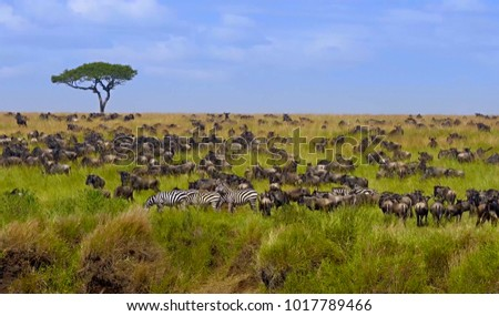 Big herd of wildebeest in the savannah. Great Migration. Kenya. Tanzania. Masai Mara National Park. An excellent illustration.