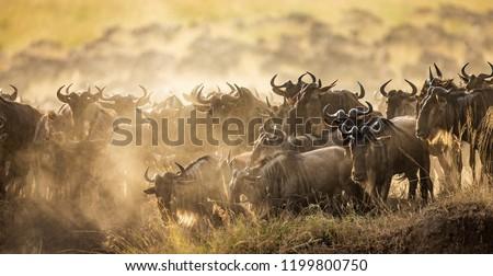 Big herd of wildebeest is about Mara River. Great Migration. Kenya. Tanzania. Maasai Mara National Park.