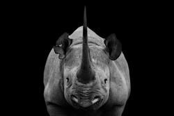 Big Horn Dangerous Rhino Standing