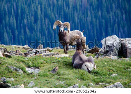 big horn sheep grazing  on the...