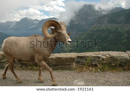 big horn sheep in glacier national park