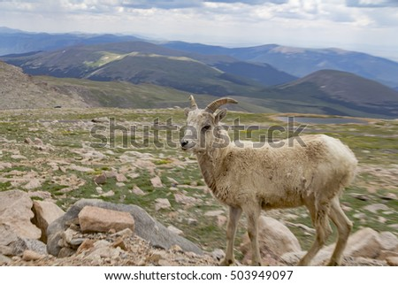 Big horn sheep in the Rockies #503949097