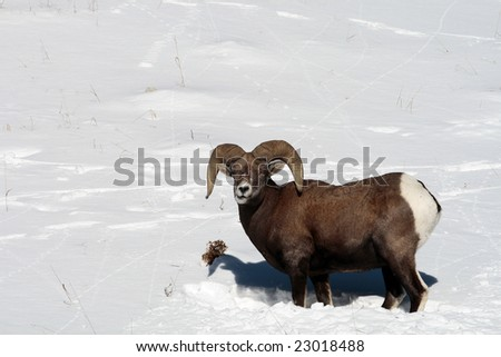 Big Horn Sheep in the snow