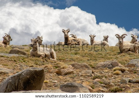 Big Horn Sheep, Mt. Evans, Colorado #1102589219