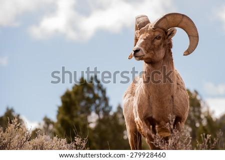 Stock Photo Big Horn Sheep, Ovis Canadensis